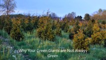 .=  The Color Changes you can expect to  see when growing   Green Giant Arborvitae