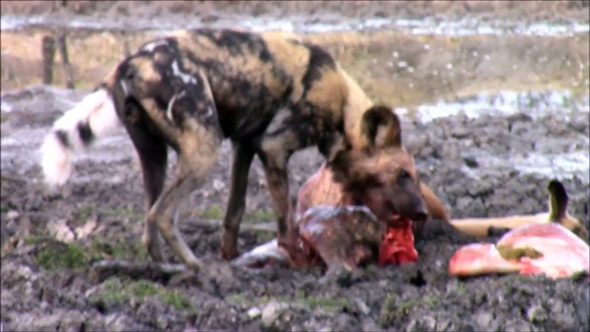 wild dogs eating live animals, wild dogs eating deer alive, watch latest sightings animatedcams vide