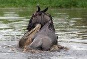 crocodile attacks and kills impala, wildebeest -national geographic animals documentary,