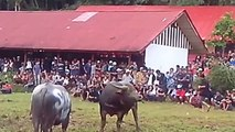 Y búfalo étnico lucha grupos tribus Indonesia toraja funeral |