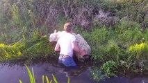 Il se jette à l'eau pour sauver un mouton... Beau geste