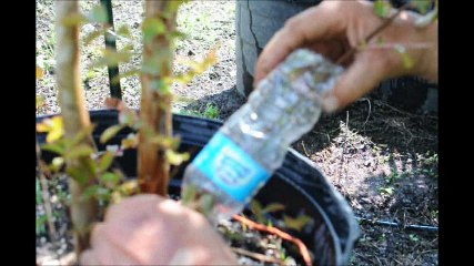 Air Rooting a Crape Myrtle in a Water Bottle