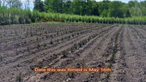 Growing  Our  Spruces and Pines from seedlings at  ......  HH Farm
