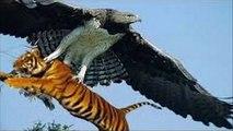 Eagle vs lion ►eagle attacks people kid lizard king cobra mongoose lion tiger