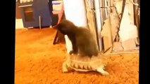 Best FUNNY Cats Fails Compilation | FUNNY Cat Videos 2015 - FUNNY Pets, FUNNY Animals