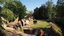 La maman éléphant n'arrive pas à réveiller son bébé, ne quittez pas des yeux le gardien du zoo!