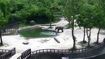 un couple d'éléphants sauvent un éléphanteau