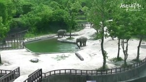 Baby Elephant Saved By Mother And 'Granny' In Dramatic Rescue At South Korean Zoo