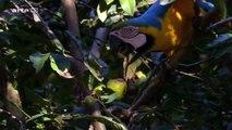 Magnifiques perroquets ara