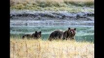 L'ours grizzly de Yellowstone n'est plus une espèce protégée