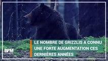 Dans le Yellowstone, les ours ne sont plus protégés et pourront être chassés