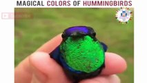 Amazing Birds - Magical Colors Of Hummingbirds ♥