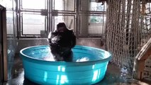 Ce gorille adore vraiment cette musique !