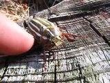 Cet insecte géant pousse des cris quand on le touche !