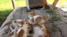Cette maman chat est une vraie vache à lait pour ses chatons