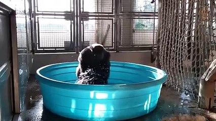 Un gorille s'amuse en dansant dans une piscine