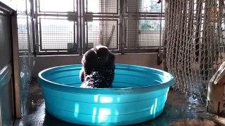 Buzz : Un gorille danse dans une piscine
