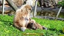 MACACOS Bebés muito Bonitos no Zoológico _  y Monkey very cute in the Zoo - Funny Animals