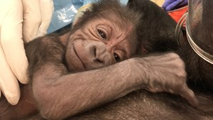 Philly OB/GYN Delivers Baby Gorilla