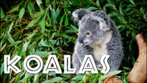 All About Koalas for Kids - Koalas fo34534534 Children - Fr