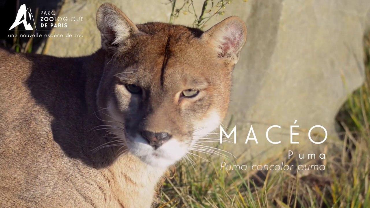 Macéo, Puma