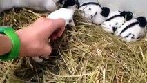 Lun course course élevage de lapin géant papillon francais pur