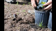 How we start oak trees.....Small Trees You Can easily dig up and grow.... Oaks in the springtime