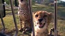 猎豹的叫声可以说非常凶残啦!