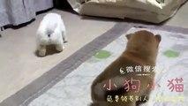 两只小柴犬打架啦,好可爱