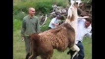 Vidéo compilation de lamas ayant de drôles de réactions au contact des humains