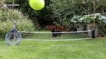 Sausage dog plays with giant tennis ball to mark Wimbledon 2017