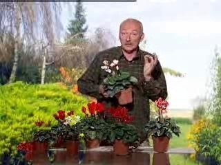 Visionnez les Cours Vidéo de Cyclamen - Conseils de Jardinage