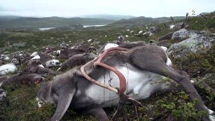 نفوق أكثر من 300 من غزلان الرنة جراء صاعقة برق فى النرويج