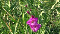 Amazing Gladiolus Flowers Are In Full Blooming in 4K Ultra HD