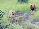 Ces bébés lions adorables essaient de rugir comme papa
