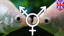 Ikan transgender; Jenis kelamin ikan berubah karena pencemaran air - Tomonews