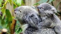 All About Koalas for Kids - Koalas for Chđ