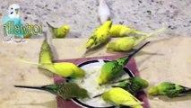 تزاوج طيور البادجي