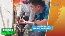 Born to be Wild: Injured giraffe, gagamutin ni Doc Nielsen