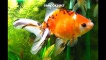 Historia de peces de colores sobre el origen de las especies de peces de colores Parte 1