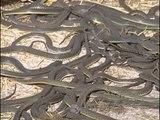Les reptiles du désert : Varan, Scorpion, Serpent, Cobra