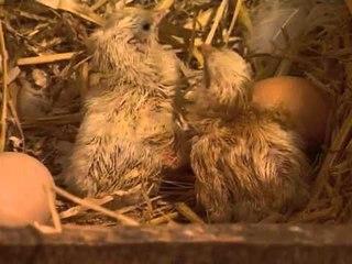 Les animaux de la ferme : la poule et les poussins