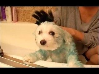 Une fille de milliardaire teint son chien en bleu