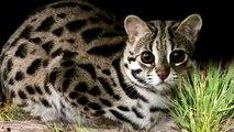 Top 10 Razas de gatos que quizás nunca verás / Los 10 gatos mas caros y mas lindos del mun