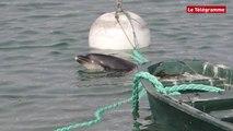 Quiberon (29). Un dauphin a été retrouvé dans le port