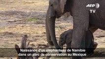Naissance d'un éléphanteau de Namibie au Mexique