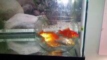 Les poissons rouges c'est vraiment idiot... Ils ne sortent pas de leur aquarium placé dans un aquarium