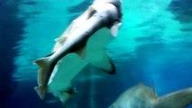Akvaryumda Köpek Balığını Yiyen Köpek Balığı! ( Shark Eats Shark! )