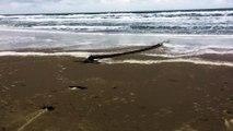 Mais quelle est cette étrange créature filmée sur une plage aux Pays-Bas