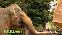 Hippos (Fiona) and Elephants get Pumpkins to Kickoff HallZooween - Cincinnati Zoo